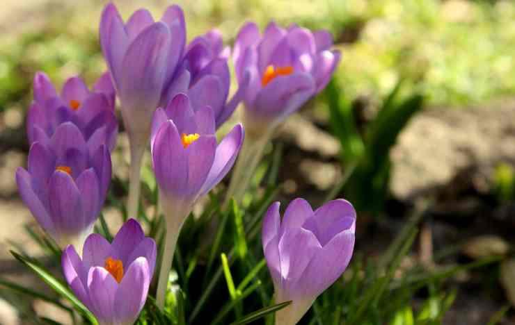 non confondere questo fiore con lo zafferano